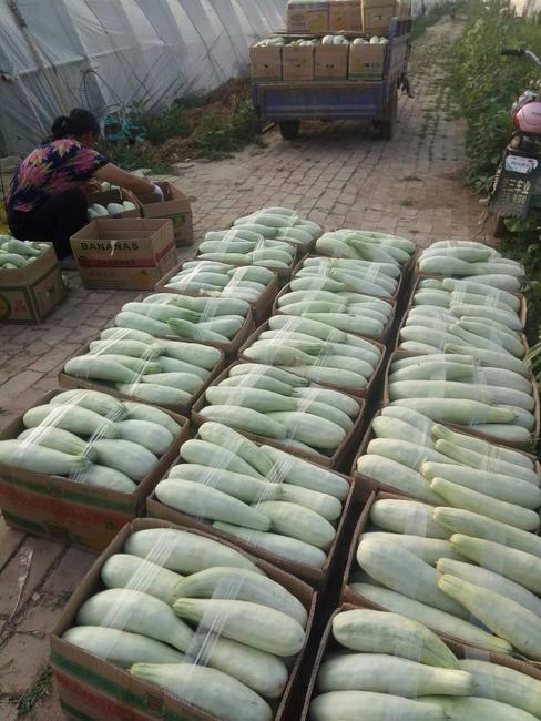 羊角蜜甜瓜 0.5斤以上