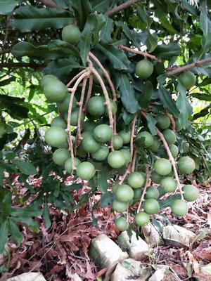 坚果树苗 0.5~1米