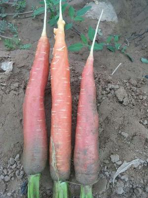 甘肃省武威市古浪县长红胡萝卜 10~15cm 2两以上 3~4cm