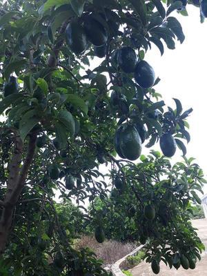 广西壮族自治区防城港市防城区越南牛油果 200g以上