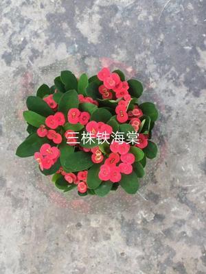 广东省佛山市南海区铁海棠