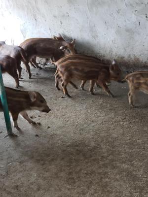 江苏省连云港市灌云县改良野猪 30-40斤 公