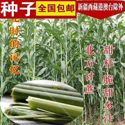 山东省临沂市郯城县抗四高粱种 种子
