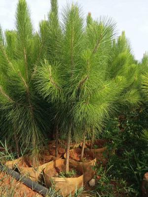云南省红河哈尼族彝族自治州石屏县湿地松树苗
