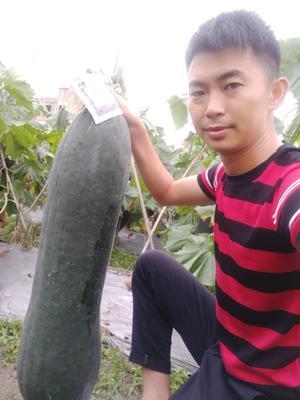 广西壮族自治区玉林市玉州区炮弹冬瓜 20斤以上 黑皮