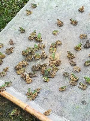 重庆万州区虎纹蛙苗