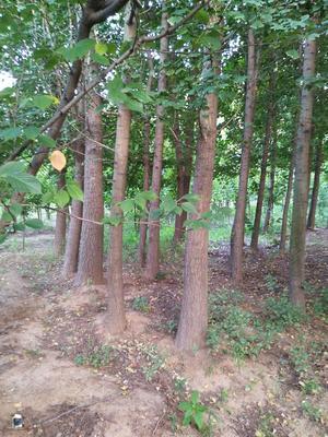 山东省泰安市新泰市银杏实生树