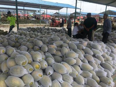 新疆维吾尔自治区喀什地区伽师县伽师瓜 7斤以上