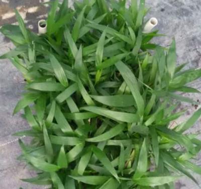 广东省广州市荔湾区富贵椰子