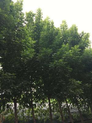河南省周口市太康县金叶复叶槭