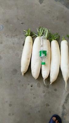 河北省石家庄市正定县白萝卜 2.5~3斤