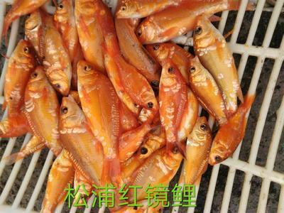 贵州省贵阳市息烽县裸鲤 人工养殖 0.05公斤