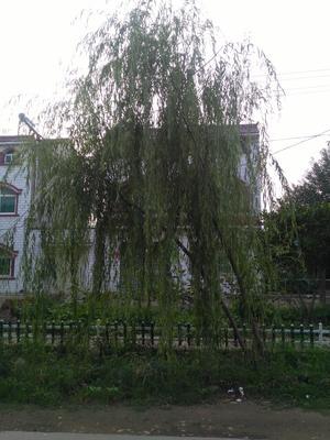 湖北省孝感市安陆市垂柳