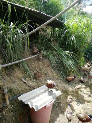 福建省莆田市仙游县银斑珍珠鸡 2-4斤