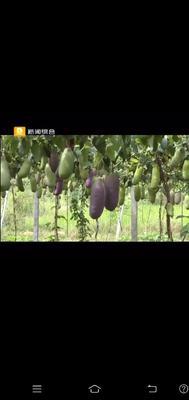 浙江省金华市东阳市紫色一号八月瓜 种植 150g以上
