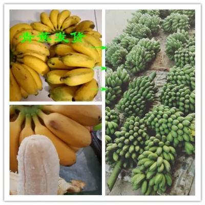 广西壮族自治区南宁市西乡塘区小米蕉 八成熟 40斤以下