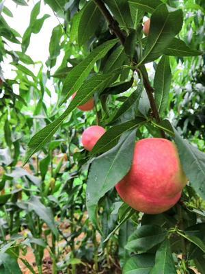 北京平谷区红油桃 3两以上 50mm以上