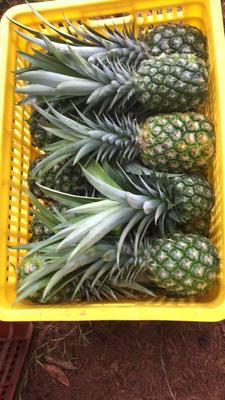 海南省儋州市儋州市海南菠萝 1.5 - 2斤