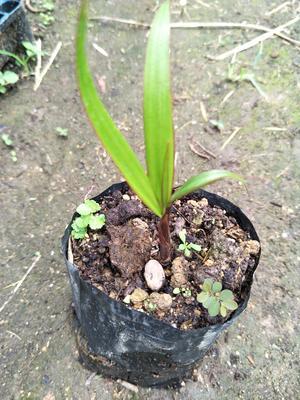 广东省广州市荔湾区椰子苗
