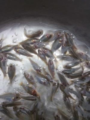 广东省广州市花都区禾花鱼 人工养殖 0.05公斤