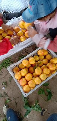 北京平谷区黄油桃 3两以上 50mm以上