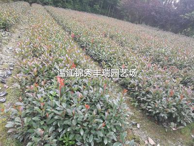 四川省成都市温江区红叶石楠