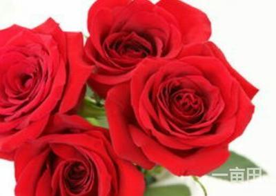广东省江门市恩平市红玫瑰