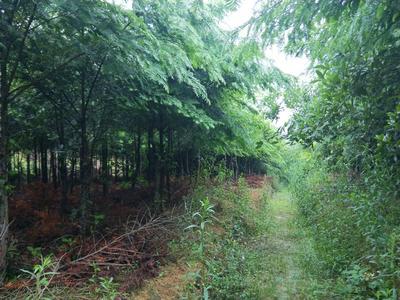 广东省韶关市乐昌市南方红豆杉 3~3.5米