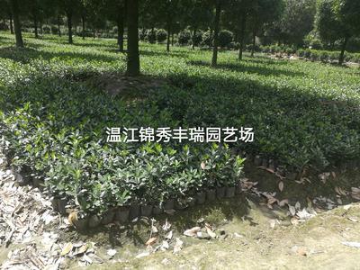 四川省成都市温江区 大叶黄杨
