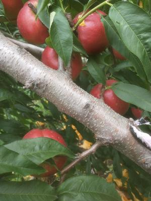 山东省青岛市莱西市黄油桃 3两以上 50mm以上