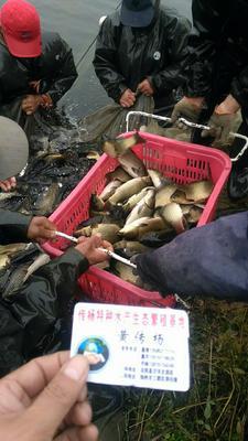 江苏省宿迁市沭阳县池塘鲤鱼 人工养殖 0.05公斤