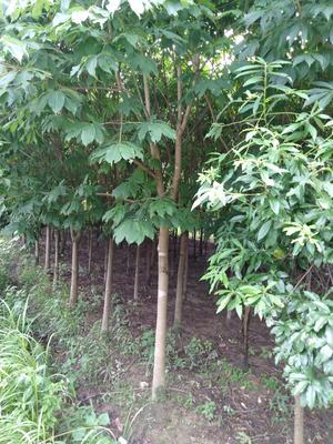 安徽省六安市霍山县七叶树