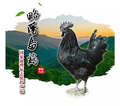 陕西省西安市未央区略阳乌骨鸡 2-3斤