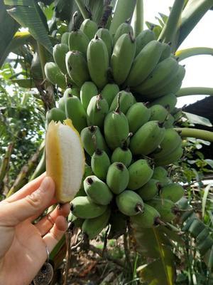 广东省湛江市徐闻县苹果蕉 八成熟 40斤以下
