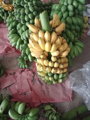 广西壮族自治区南宁市兴宁区小米蕉 七成熟 50 - 60斤