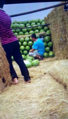 宁夏回族自治区中卫市海原县宁夏压沙瓜 种植 140-150g