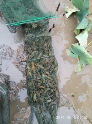 重庆大足区小龙虾苗
