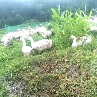 贵州省黔南布依族苗族自治州贵定县大三花鹅 统货 半圈养半散养 6-8斤
