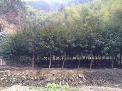 浙江省金华市永康市南方红豆杉 3.5米~5米