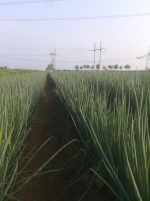 陕西省渭南市临渭区长白大葱 2cm左右 40cm以上 毛葱