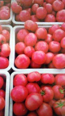 内蒙古自治区赤峰市松山区硬粉番茄种子 98% 杂交一级
