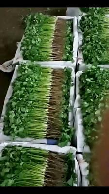 陕西省咸阳市乾县大叶香菜 25~30cm