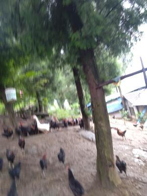 湖南省张家界市永定区土乌鸡 2-3斤