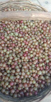 黑龙江省哈尔滨市尚志市双季红树莓 鲜果