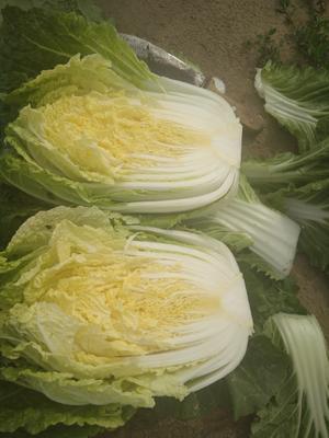河北省张家口市张北县玲珑黄白菜 3~6斤 净菜