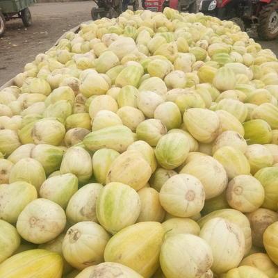 内蒙古自治区巴彦淖尔市乌拉特前旗糖老大 0.5斤以上