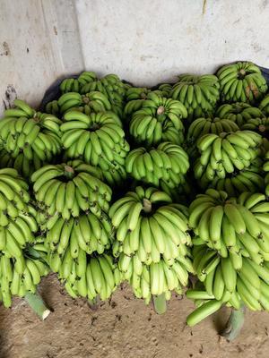 广西壮族自治区南宁市西乡塘区威廉斯香蕉 八成熟 40 - 50斤