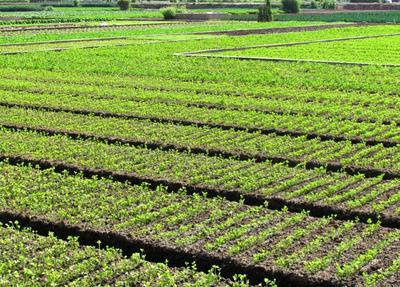 四川省泸州市纳溪区玻璃脆芹菜 45~50cm 露天种植 0.5斤以下