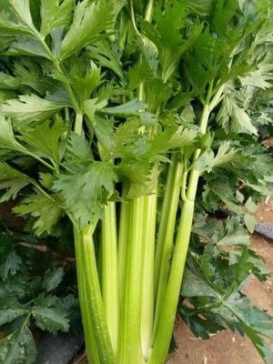 河北省张家口市蔚县法国皇后芹菜 60cm以上 大棚种植 2.5~3.0斤