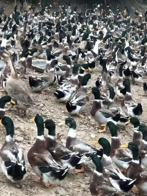 蓝头杂交鸭
